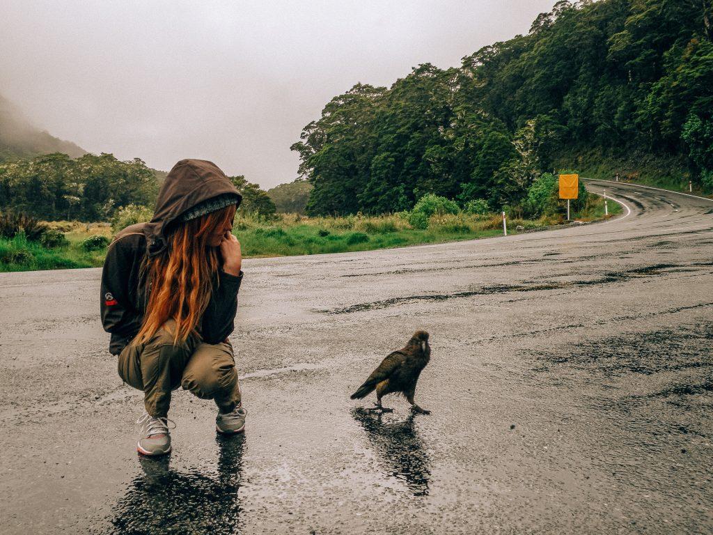 Loro alpino de los Fiordos - Nueva Zelanda isla del sur