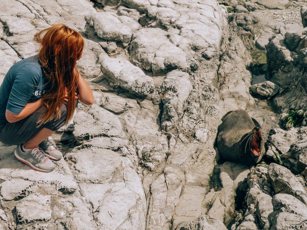 Focas en Kaikoura - isla sur de nueva zelanda