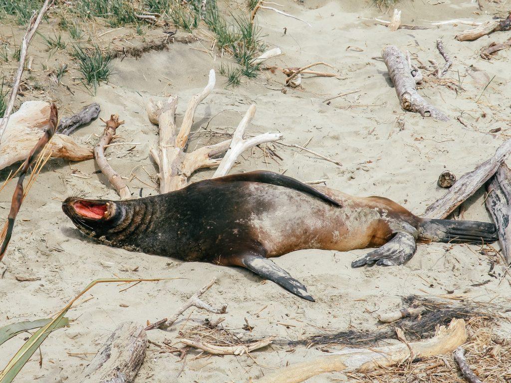 Leones marinos en Cannibal bay - sur de nueva zelanda