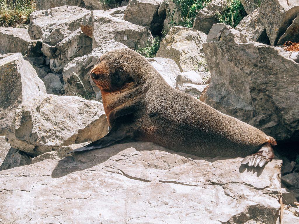bebe foca peluda - sur de nueva zelanda