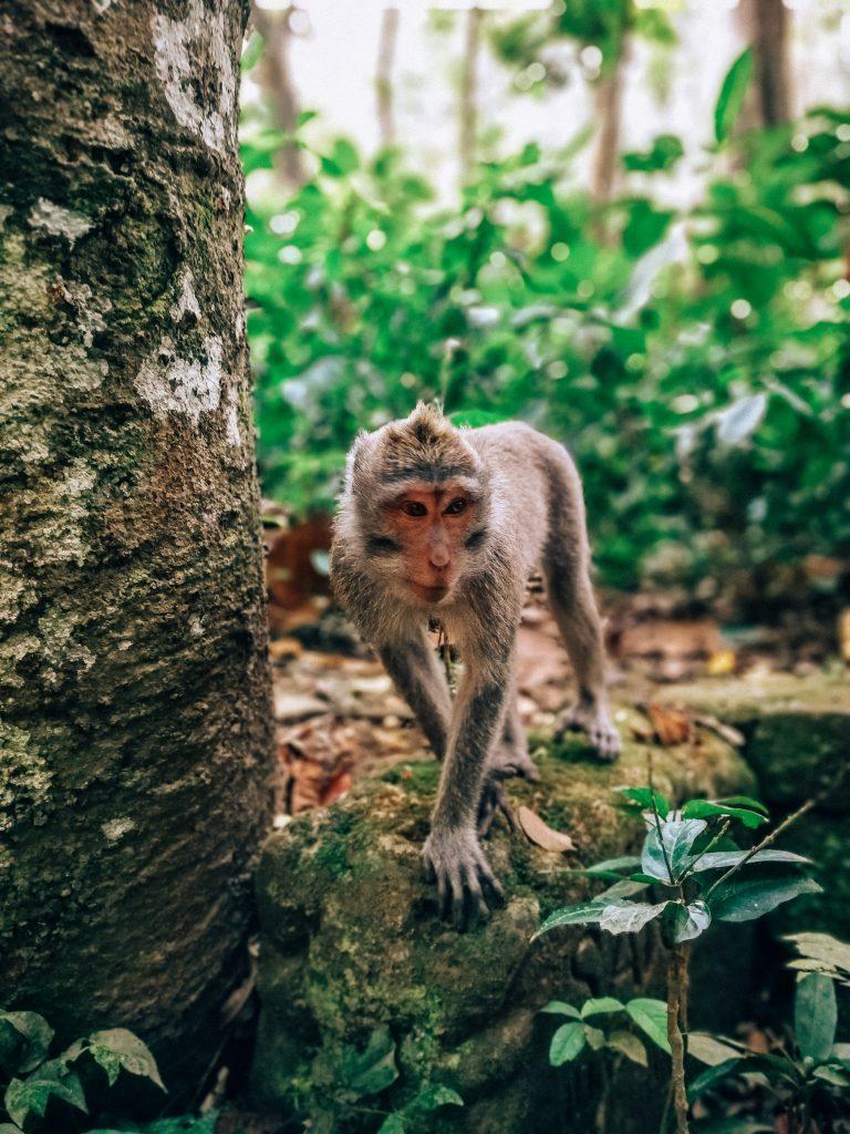 monos del santuario - Que ver en Ubud
